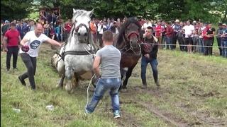 PROBE CAI TARGU LAPUS | DUBLU 2019 ROMANIAN HORSES PULL | | PRUEBA HORAS