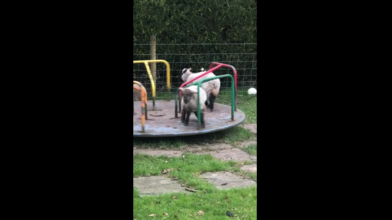 Playful Lambs Spin On A Merry Go Round