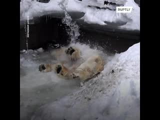 Медведь Кай плещется под искусственным водопадом