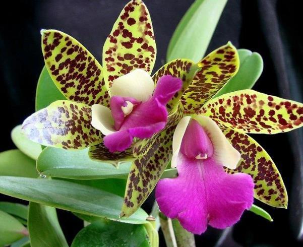 Орхидея Каттлея, изображение №7