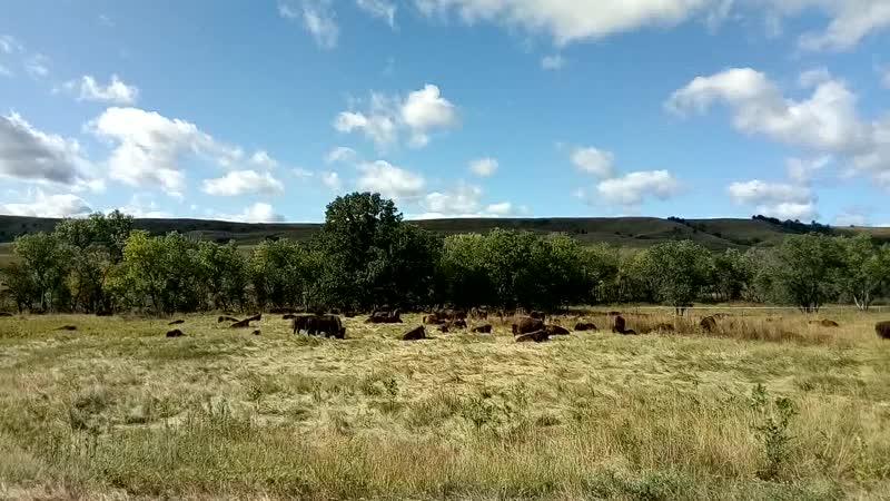 Стада бизонов, Custer State Park, США