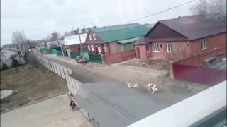 В Татарстане два алабая растерзали соседскую овчарку на глазах у 13-летней девочки