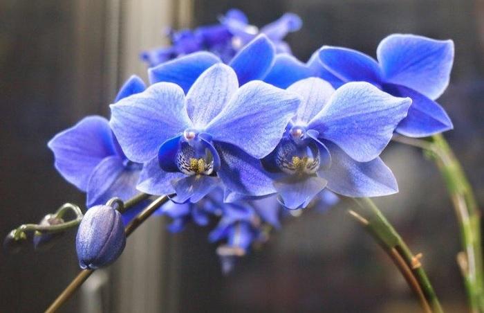 Орхидея Blue Phalaenopsis Aphrodite считается эксклюзивом.