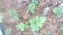 Размножение ежевики одревесневшими черенками(reproduction of the BlackBerry stem cuttings)