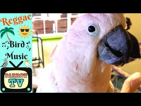 Keep Your Parrot Happy with Reggae Bird Music Parrot Music TV for Birds