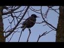 Как говорят птицы Говорящие животные и птицы