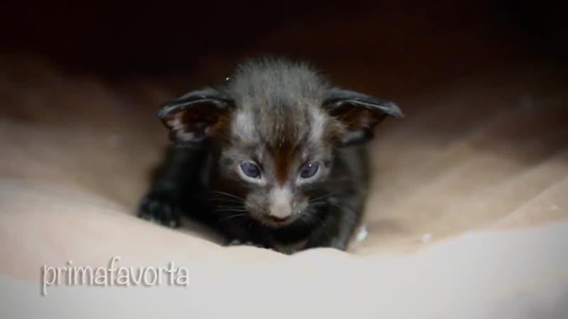Ориентальный котёнок