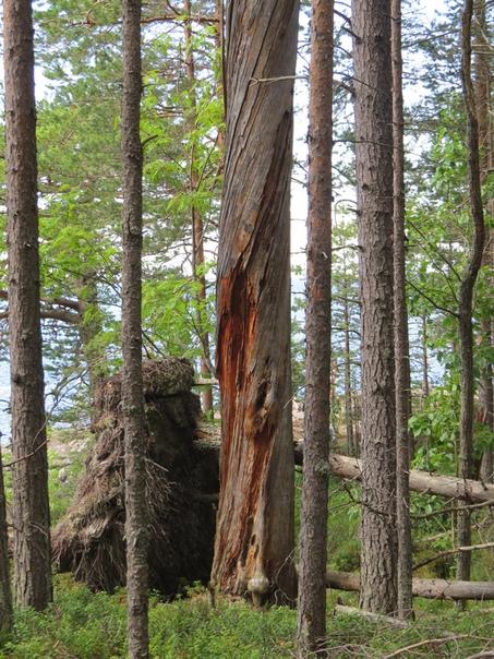 Старые сосны — вечные стражи Онежского озера