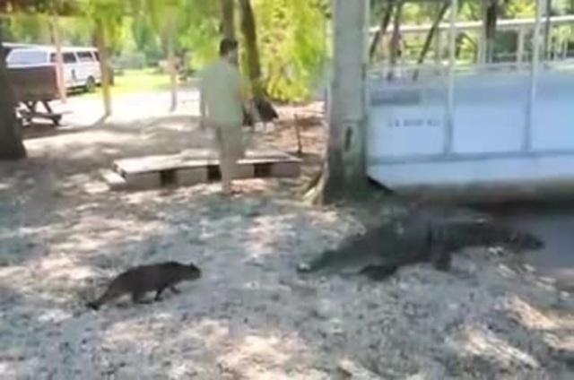 Cat vs Gator · coub, коуб