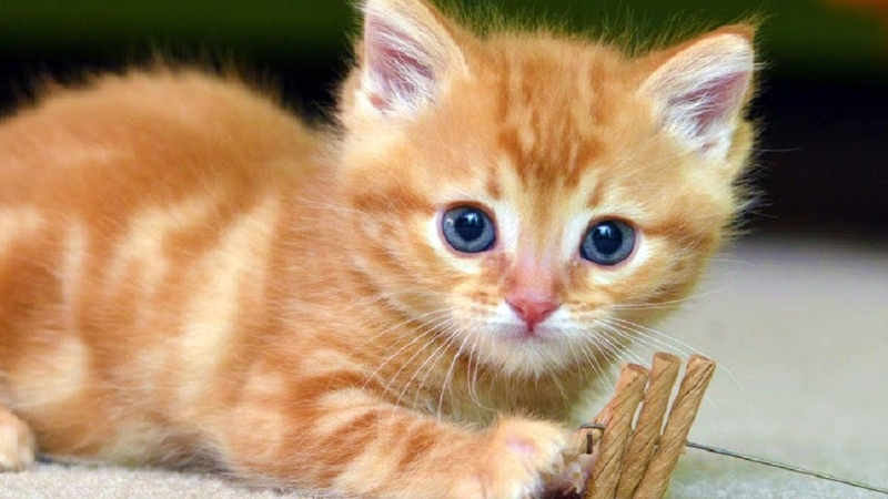 Cats Meowing - Cute Kittens Meowing - Cat Meowing Video - Kitten Meowing Videos