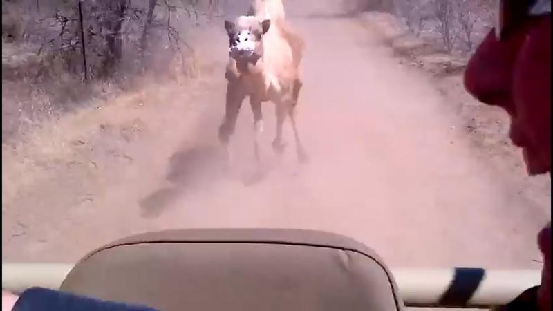 الجمل هو احقد الحيوان واذا غضب ينتقم جمل هائج camels ﮼استراليا