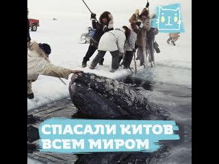 Весь мир объединился, чтобы спасти китов на Аляске