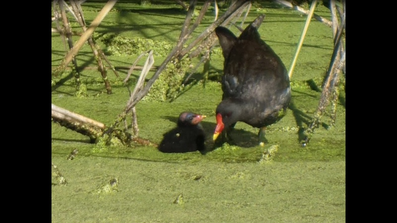 БИОСФЕРА Болотная курочка и её совсем ещё маленький цыплёнок в своём отпугивающем оперении