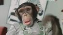 Украли зебру обезьянки Дони и Мики