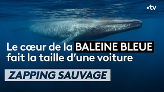 Le cœur de la baleine bleue fait la taille... d'une voiture