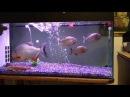 Piranha mangiano pesci rossi