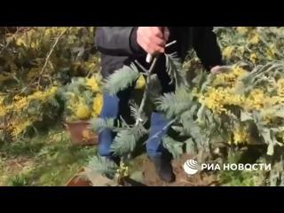 Как в Абхазии собирают мимозу для отправки в Россию - от рубки веток до погрузки в машины.