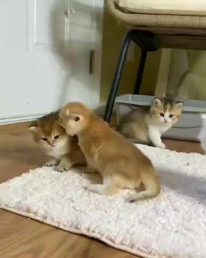 Британские золотые шиншиллы - самые милые котики