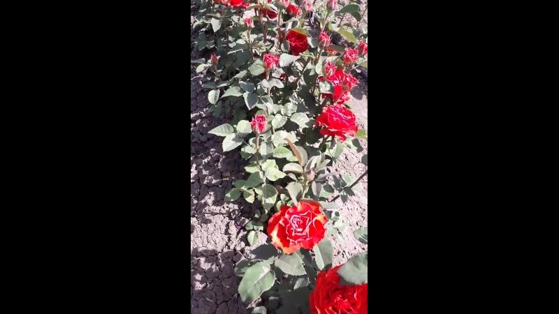 Наши красавицы розы улет