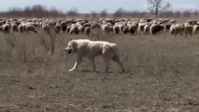 ВОЛКОДАВЫ! Эти СОБАКИ способны защитить Вас от Волка, Лиса и даже МЕДВЕДЯ