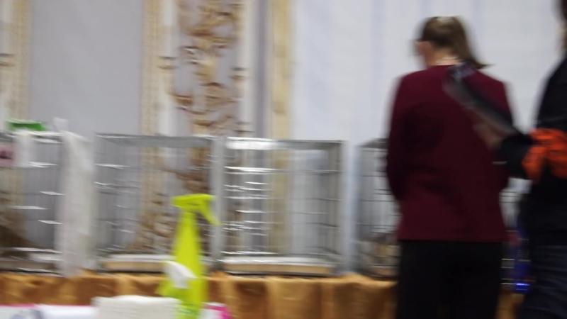 Evrasia Blanche Fleur, Скоттиш Фолд (SFS), черепаховая мраморная с белым с серебром (fs 22 03), родилась 29.03.2018
