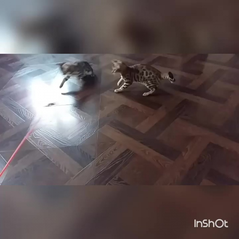 Бенгальская кошка 😻! Игривые, забавные, экзотические детки Бенгальских кошек!