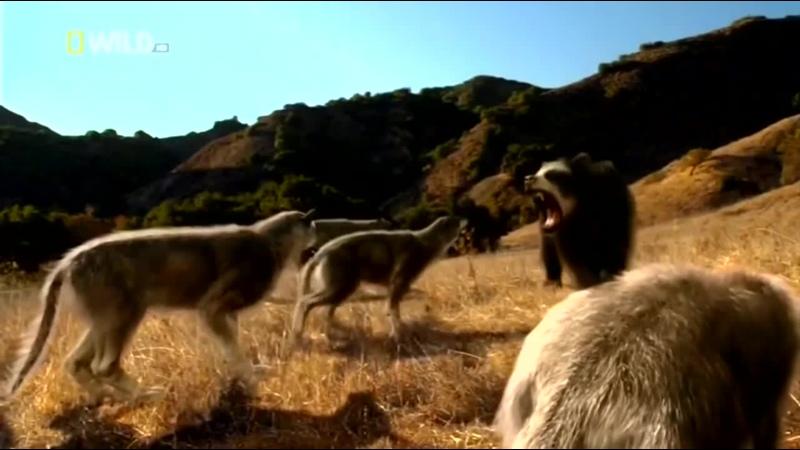 Доисторические хищники Короткомордый медведь