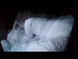 Милка готовит семейное гнёздышко. Медведица в Пермском зоопарке