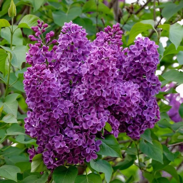весенние травы часть 2  Жасмин  Ясмин, чубушник    Магические свойства...