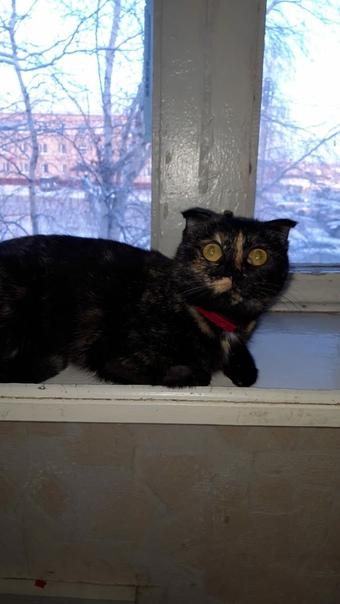 Ищем новый дом для замечательной вислоухой кошечки...