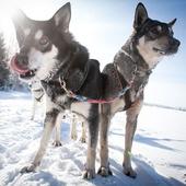 Тур на собачьей упряжке 50 км!