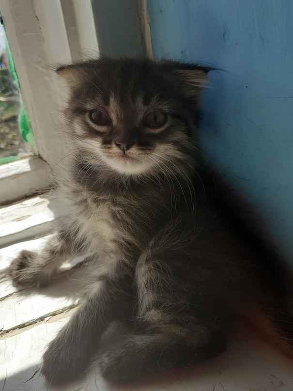 Отдам даром вислоухие котята,к лотку | Объявления Орска и Новотроицка №23583
