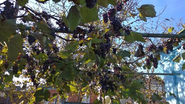 Кто-то спрашивал про виноград. Так уж сложилось в ...