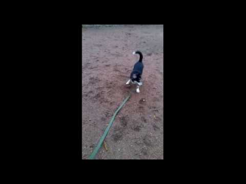 Щенок Хаски Ричи осваивается на прогулке