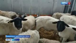 Овец, которых задержали в Архангельском порту Экономия доставят на ферму в Приморском районе