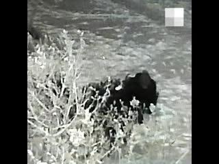 Готовился заранее: камеры сняли, как на Сибирском тракте вор спилил голубую ель