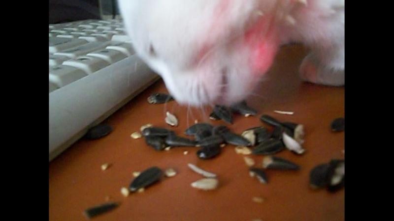 Белый Тигр ест жаренные семечки