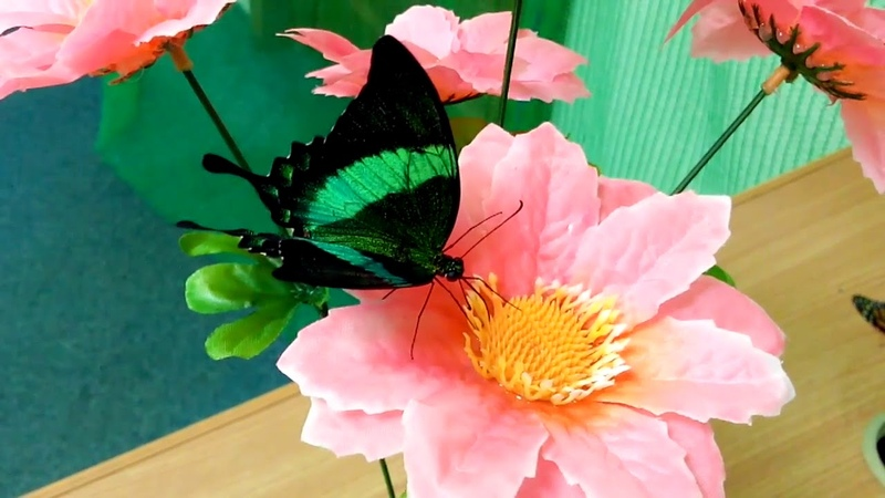 Papilio Palinurus Ярко Зеленая бабочка с переливающимися крыльями