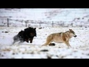 THE WOLF KILLER - Ferocious Guardian of Livestock