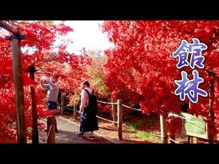 Colorful azaleas of Tsutsujigaoka Park 2021 w/ About 800-year-old azalea.  #館林市  #つつじが岡公園  #4K